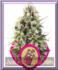 Royal Queen Chocolate Haze Fem 5 Weed Seeds